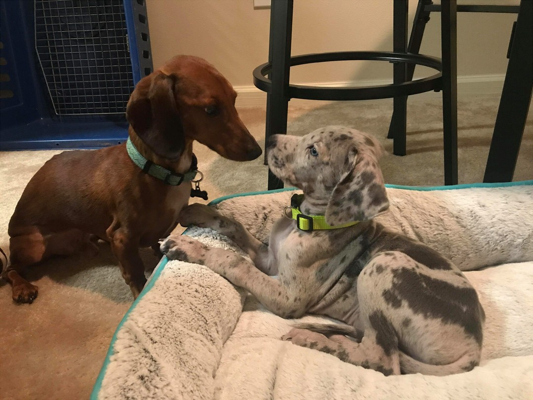 Kota the Great Dane with Gunner the Dachshund