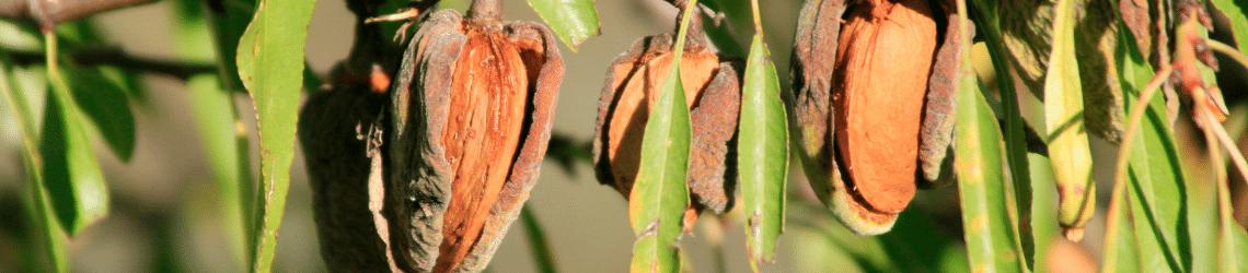 Teraganix almond seedling growth case study em-1