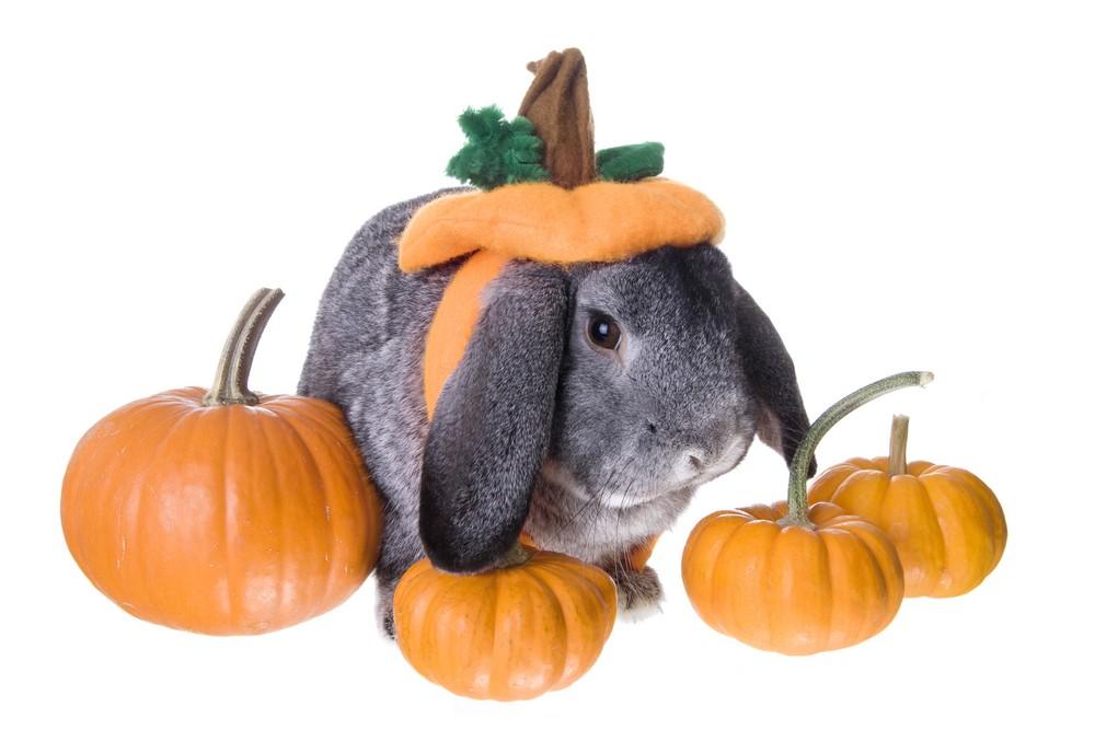 Rabbit in pumpkin costume