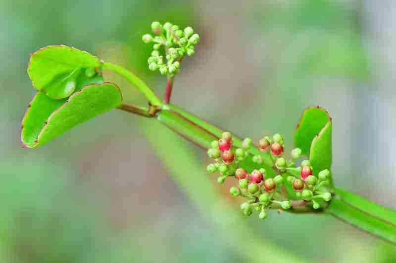 cissus for injury supplement