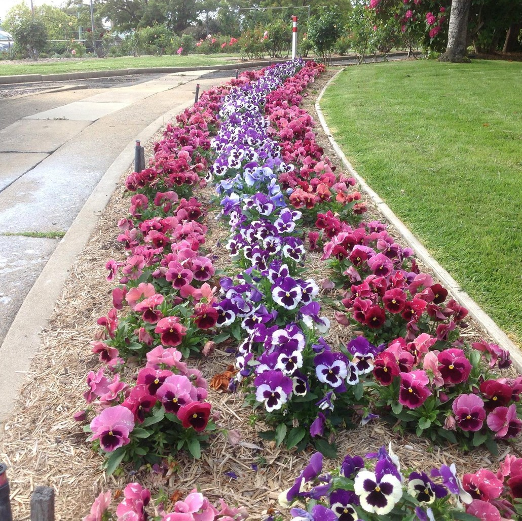 Anthony McMillan from McMillans Lawns uses the Power Planters to plant 5700 Petunias fast!