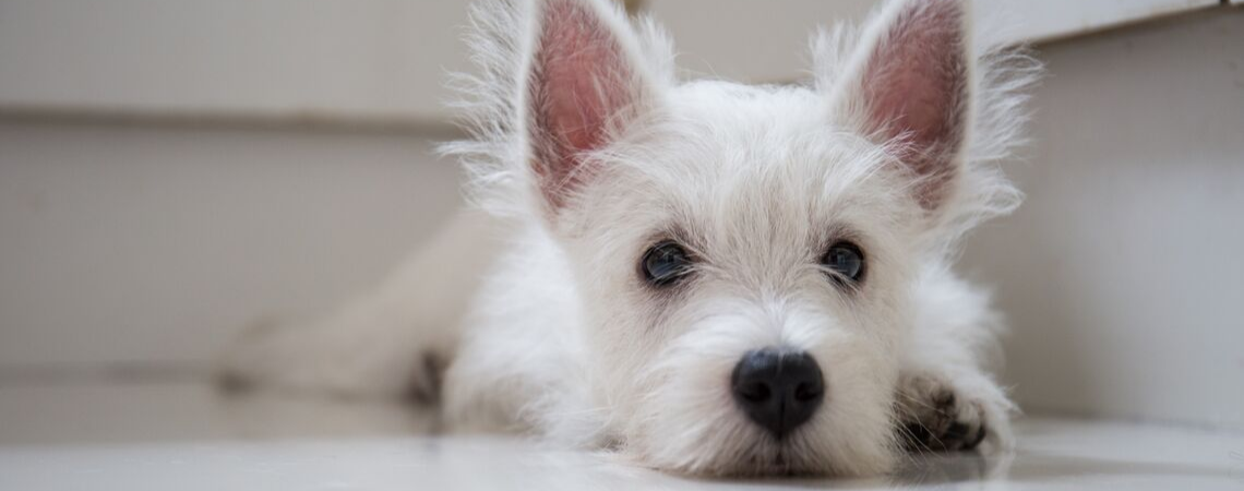 ANXIOUS WHITE TERRIER
