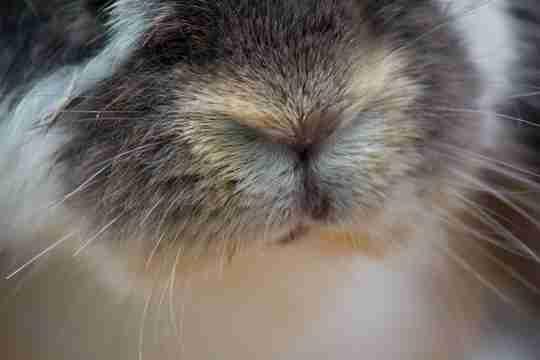 rabbit moth