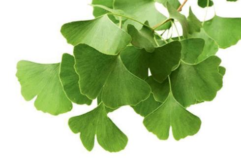 ginko-leaf