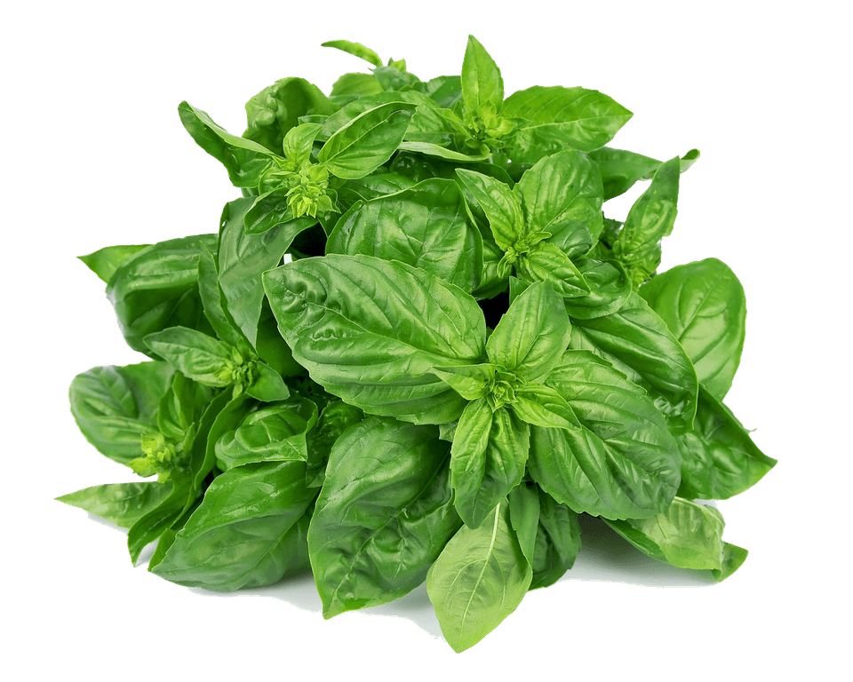 The Queen Of Herbs : TULSI (Basil)