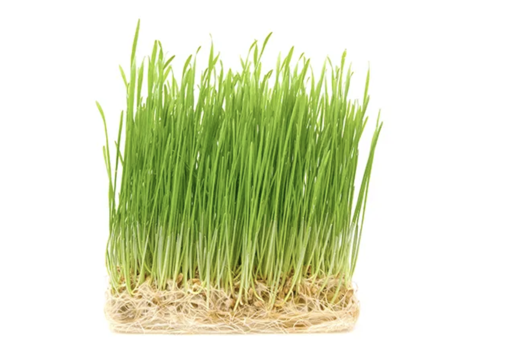 Wheatgrass Benefits 5 Healthy Reasons To Eat This Superfood Your Superfoods Eu