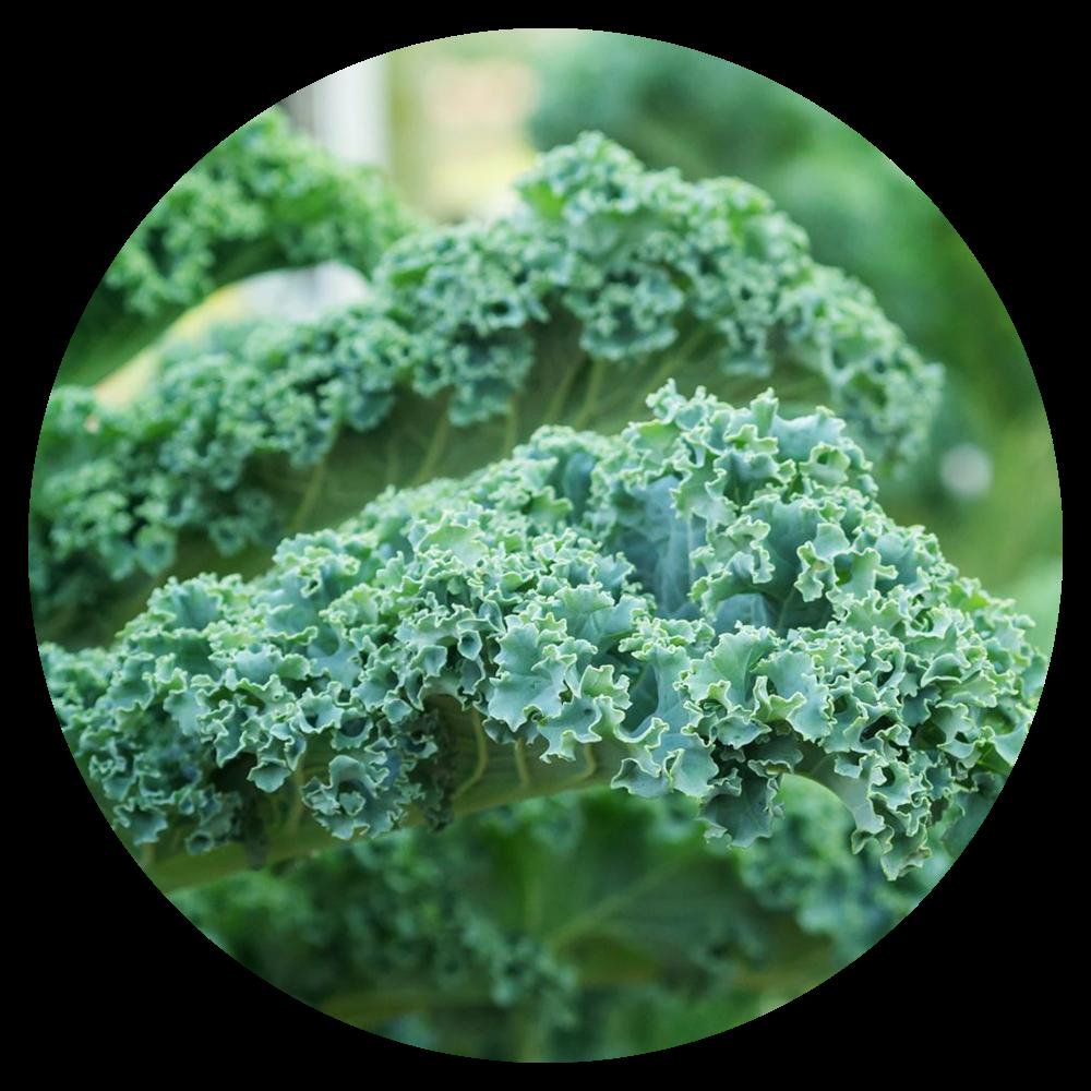 Vates Blue Scotch Curled Kale Plant
