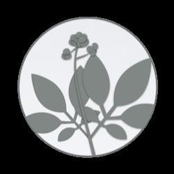 Panax Ginseng Illustration