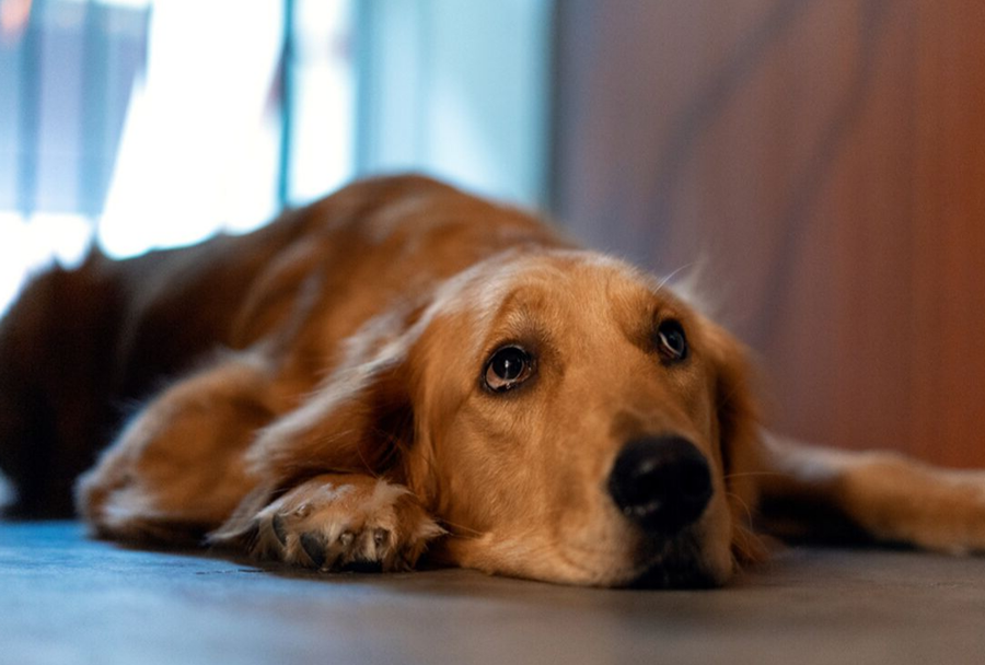 LETHARGIC RETRIEVER LOOKING AT OWNER