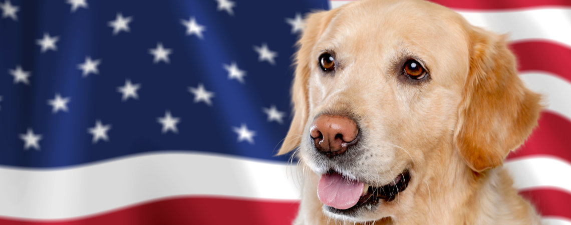 GOLDEN RETRIEVER STANDING IN FRONT OF AMERICAN FLAG