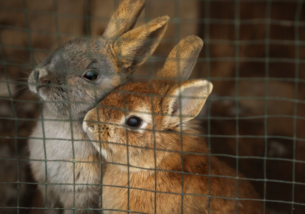 rabbits in a cage