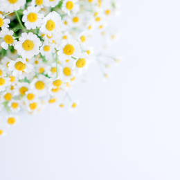 Chamomile | Ingredient in AbsoluteJOI Is Extra Benefits: You'll also know that our Daily Hydrating Moisturizing Cream SPF40 with Mineral Sunscreen