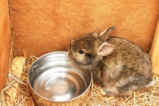 rabbit drinking out of water bowl