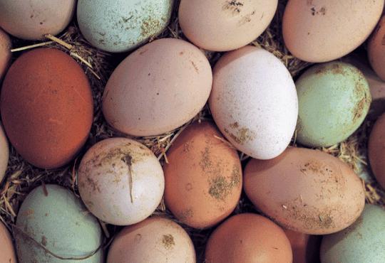 Increased egg production EM-1 probiotic healthier poultry