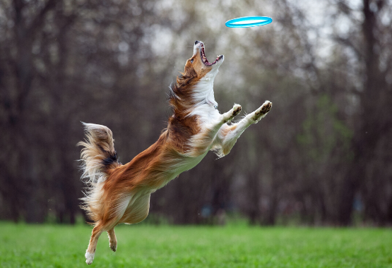 BORDER COLLIE CATCHING DISK