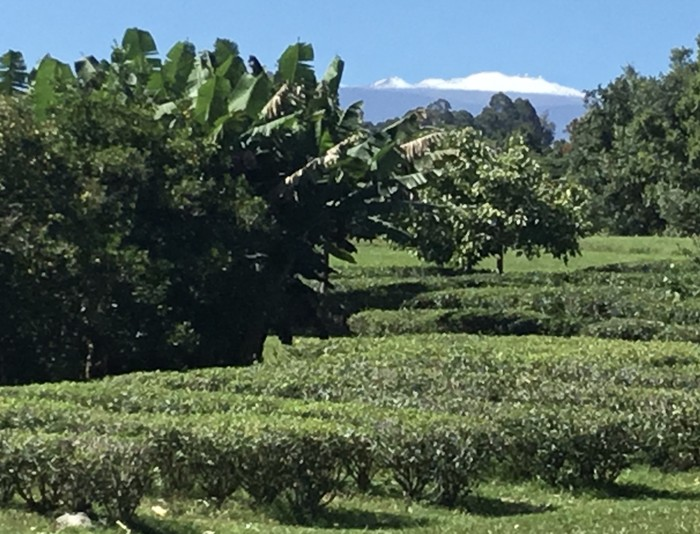 Organic tea field in Hawaii