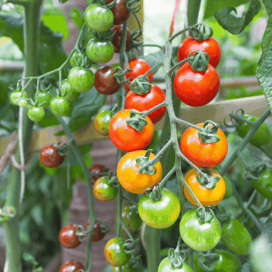 grow_tomatoes_with_EM-1
