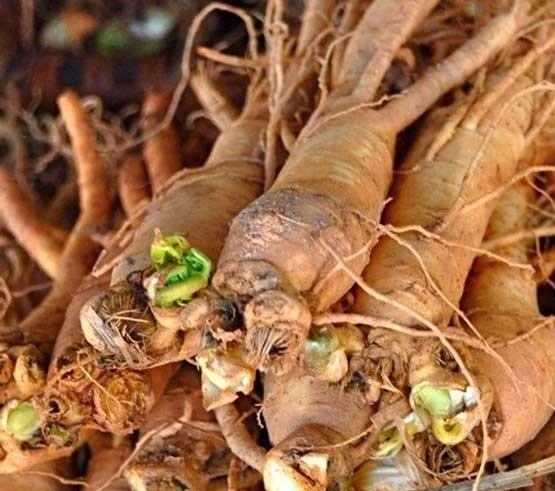 Siberian ginseng roots - A Powerful Adaptogen in Golden Goddess Elixirs