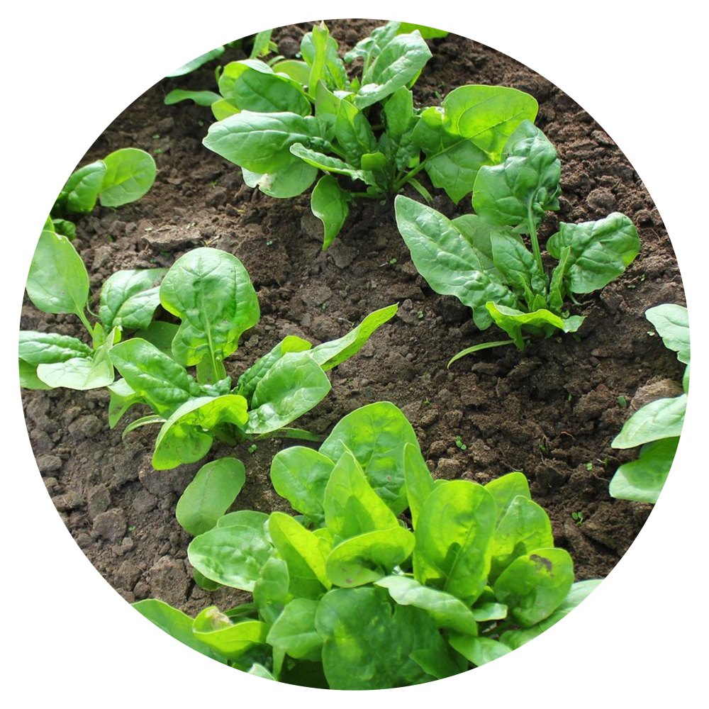 Giant Nobles Spinach Plant