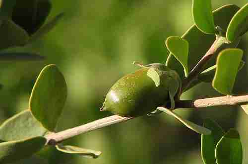 Why We Love Jojoba Oil