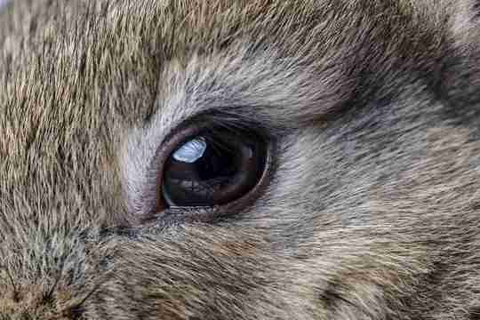 rabbit eye color