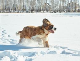 ST. BERNARD RUNNING THROUGH SNOW