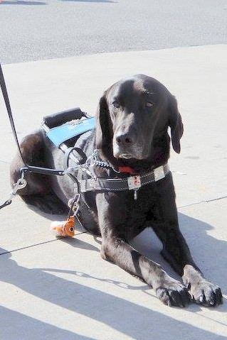 Kartie the guide dog wearing his harness