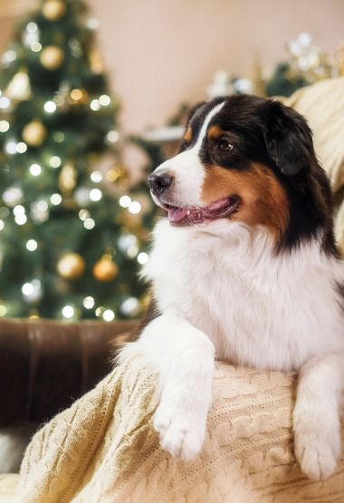 COLLIE WITH HOLIDAY DECORATIONS