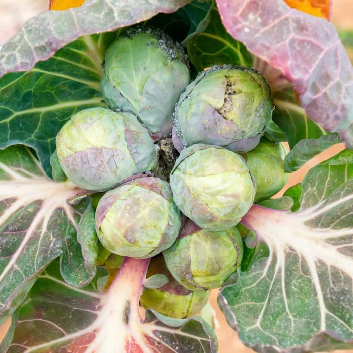 Brussell sprouts are a source of vitamin c
