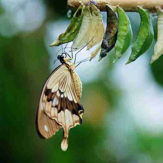 A butterfly emerging from it's cocoon