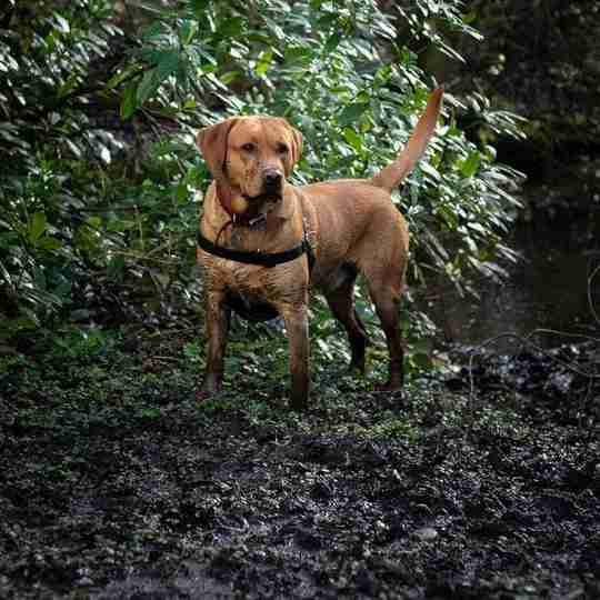 Muddy dog