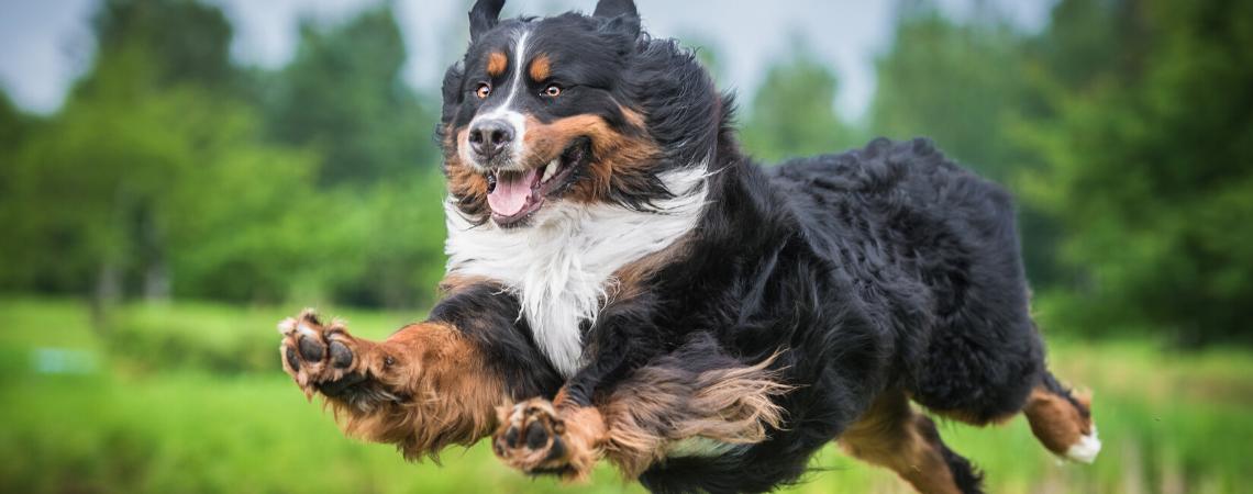 BERNISE MOUNTAIN DOG MID-JUMP