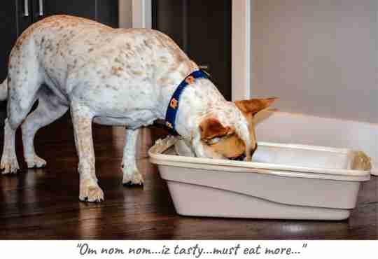 dog eats cat litter