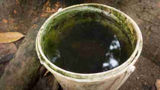old water bucket with green algae and mosquito lingering on top of bucket water