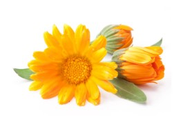 Calendula flowers are an integral ingredient for our hand made soaps in the Ambition soap trio set