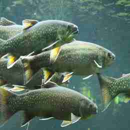 Trout Swimming Omega 3 Source