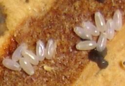 larve punaise photo