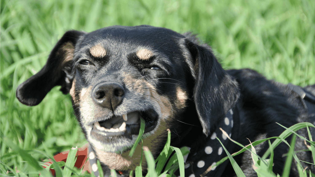Why do dogs eat grass - cover Image
