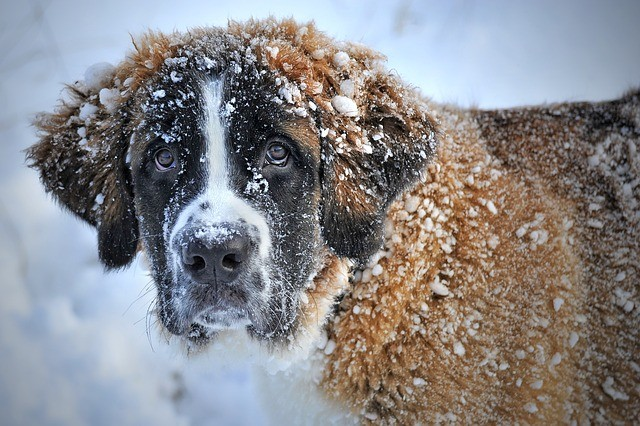 Do dogs get cold in the winter? Tips on how to protect your dog from the cold