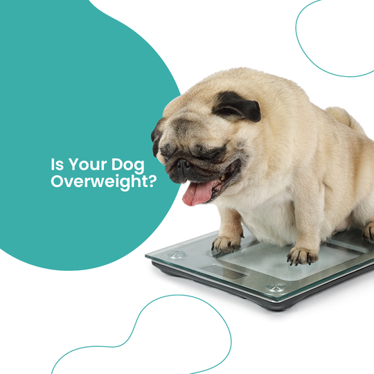 dog looking at a weighing scale