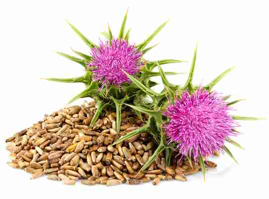 2 milk thistle flowers with milk thistle seeds on white background