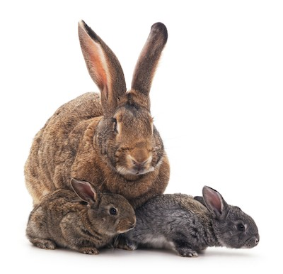 mother rabbit with babies