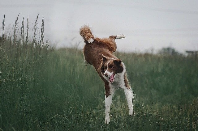 How Can Intervertebral Disc Disease in Dogs be Treated or Prevented?