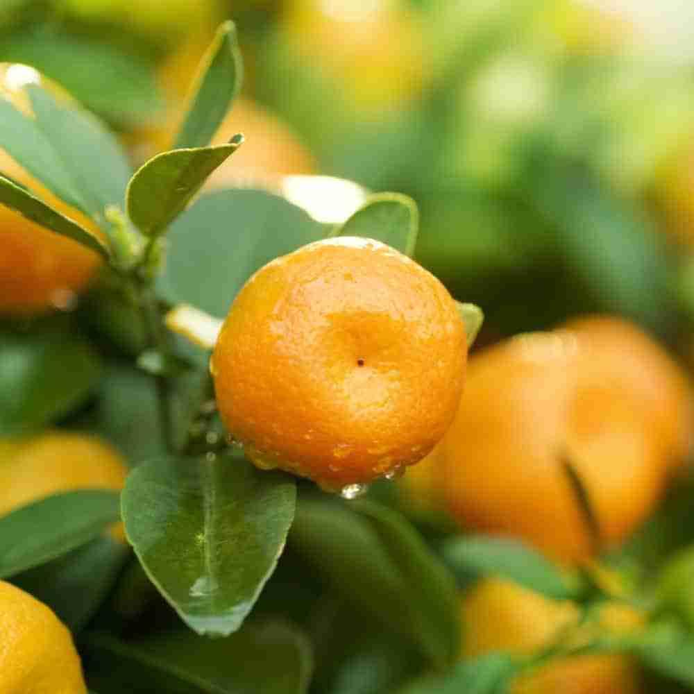 Mandarins Are A Source of Vitamin C