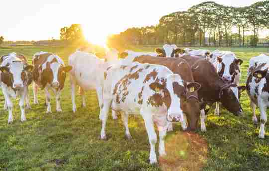 Grass fed cows grazing in a pasture of green grass in the morning.