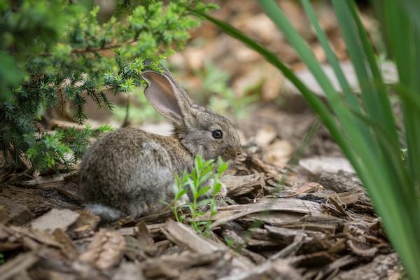 wild baby bunny