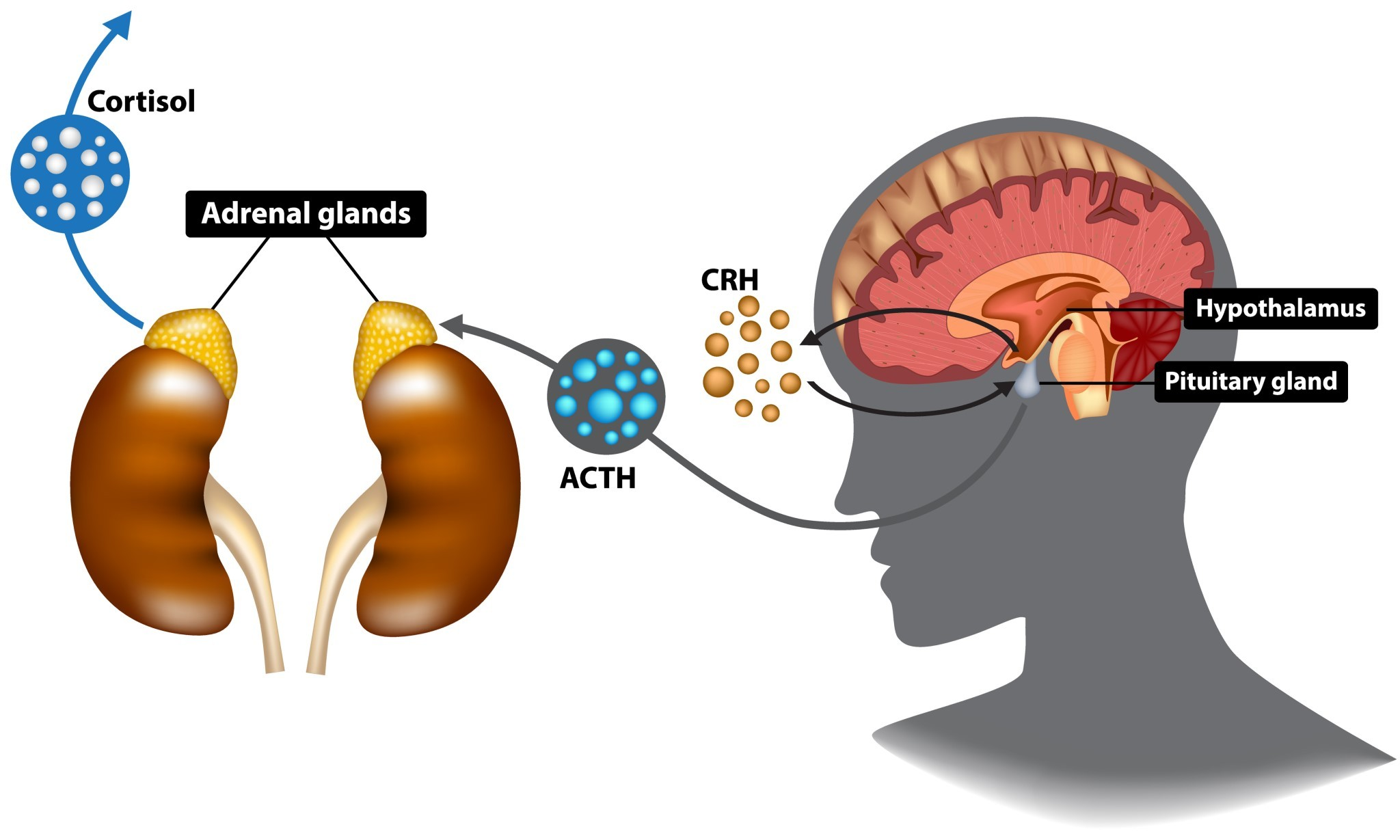 How the HPA Axis works.