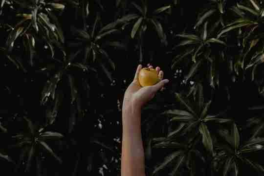 A hand holding an apple, as in the Garden of Eden