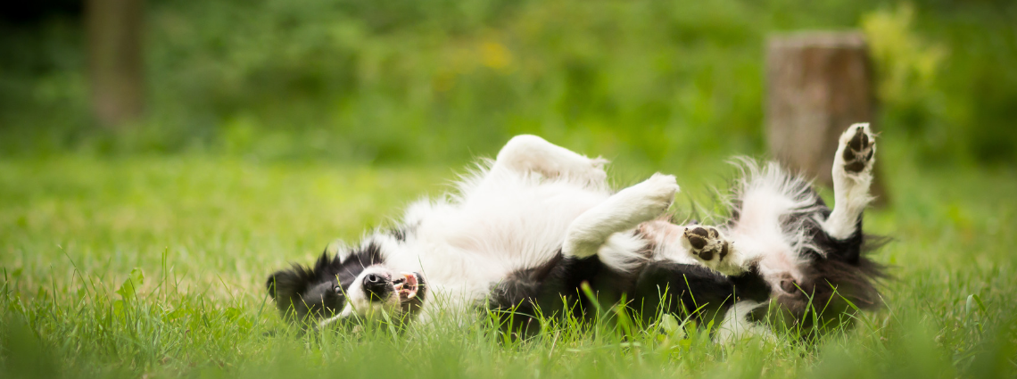 ITCHING BORDER COLLIE