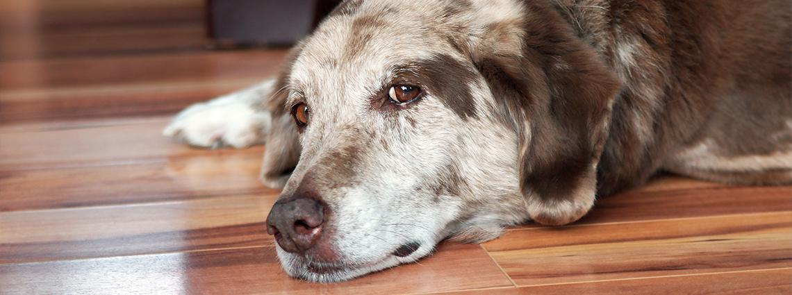 Sad and tired dog laying down